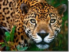 Jaguar_Brasilia