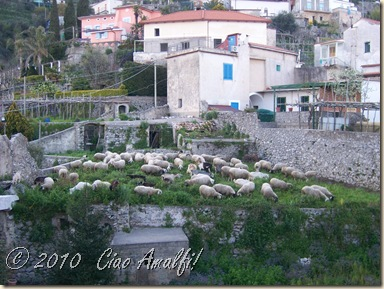 Ciao Amalfi Coast Blog Goat Sheep Invasion1