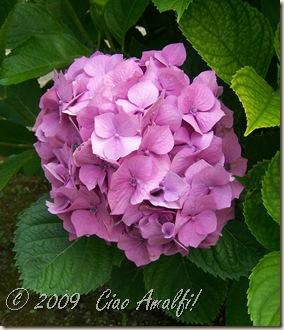 Ciao Amalfi Coast Blog Pink Hydrangea