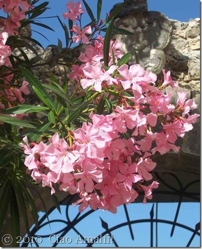 Ciao Amalfi Coast Blog Oleander