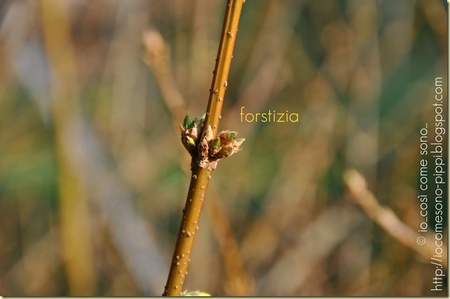 forstizia2