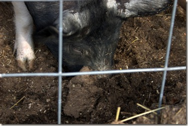 Rooting is natural behavior for pigs.