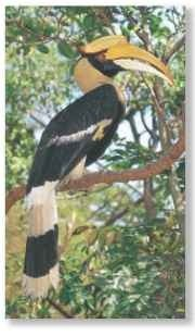 A Prominent profile The hornbill's striking pied plumage and large, heavy bill are very conspicuous as it perches in its forest home.