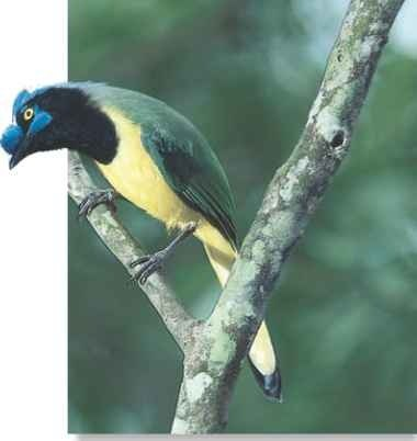 A South American green jay's nasal plumes and wide-open eye form an inquisitive expression, as the bird turns its head while perching.