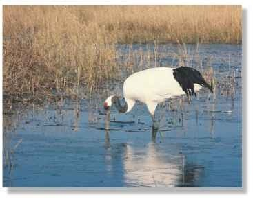 Sharp spear The crane uses its long bill to stab at vegetation and small prey in shallow marshes and rivers.
