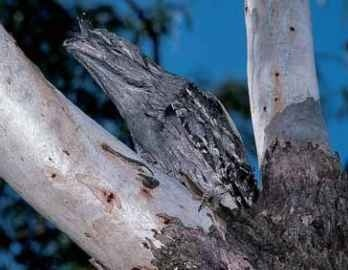 A Wooden performance The frogmouth freezes statue-still when alarmed.