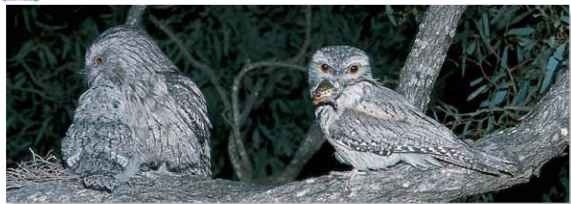 A Floor selection In its woodland habitat, the frogmouth dines on an abundance of small mammals and amphibians.