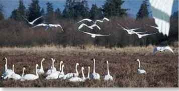 Suitable surroundings Trumpeters migrate to winter grounds that have lakes with abundant aquatic plants.