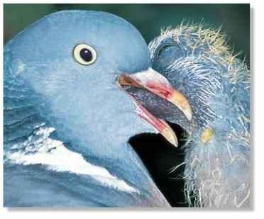 Wood Pigeon Birds