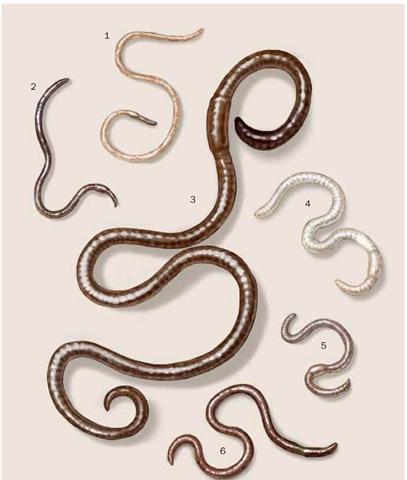 1. River worm (Diplocardia riparia); 2. African worm (Eudrilus eugeniae); 3. Gippsland giant worm (Megascolides australis); 4. Pontoscolex corethrurus; 5. Common field worm (Aporrectodea caliginosa); 6. Amynthas corticis.