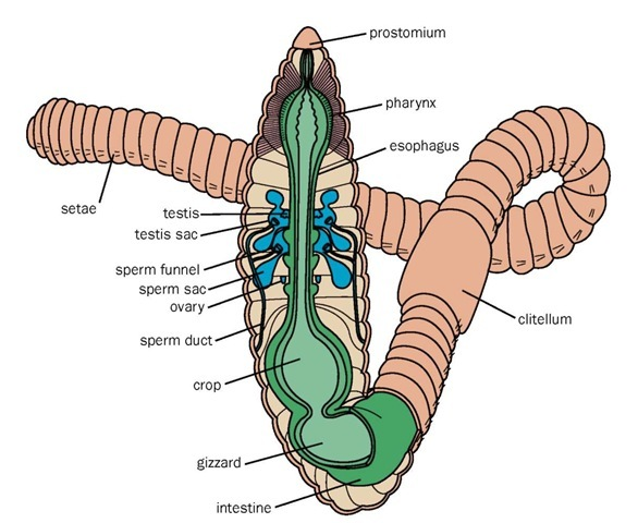 Earthworm anatomy.