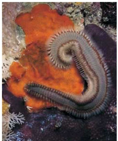 A fire worm (Eurythoe complanata) with vemonous bristles. 