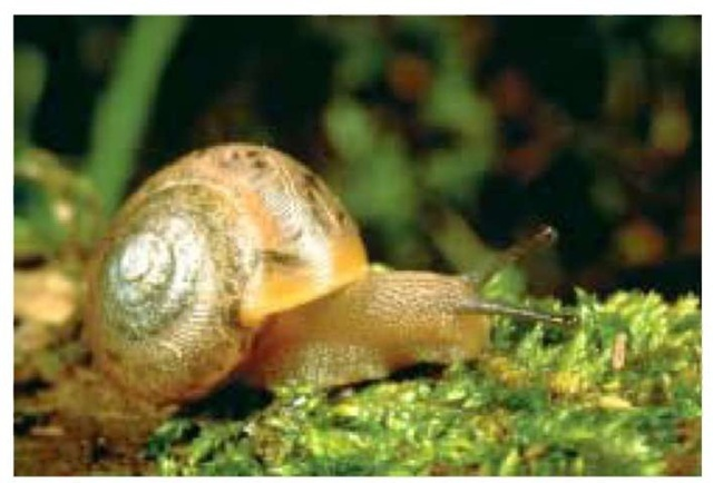 A land snail crawling on grass.