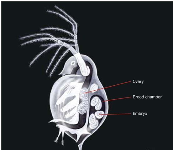 The common freshwater crustacean, Daphnia, brooding embryos under the carapace.