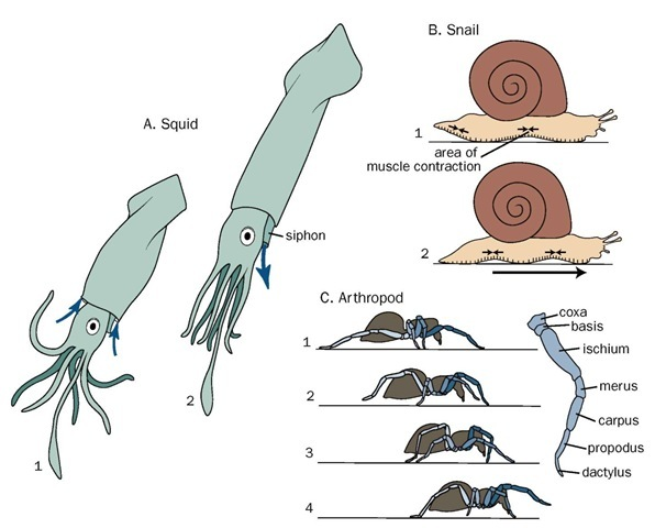 Locomotion in different animals: A. Squid propulsion; B. A snail's muscular foot; C. Leg extension in arthropods.