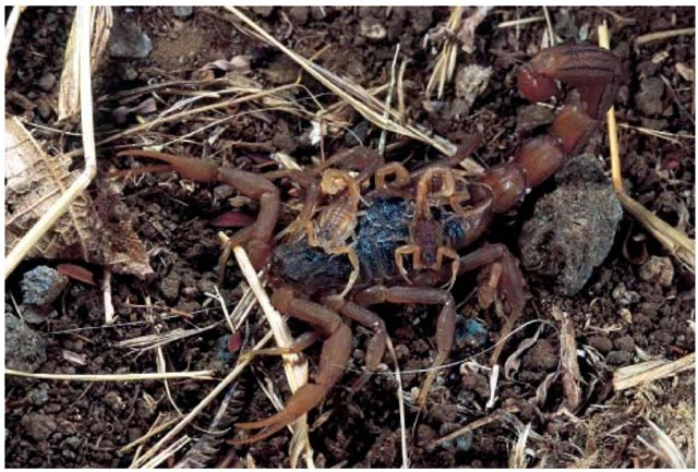 When scorpion offspring are born, the mother assists them in climbing onto her back, where they stay until their first molt. They then climb down, and live independently.