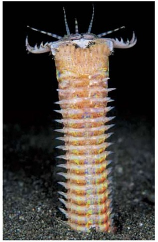 "Eunice aphroditois is a predatory worm found in the Indo-Pacific. Not much research has been done on this particular species, though it was first described in the late 1700s. This and related worms are found all around the world in tropical and semitropical waters. It is a ""sit and wait"" predator, waiting in ambush for victims."