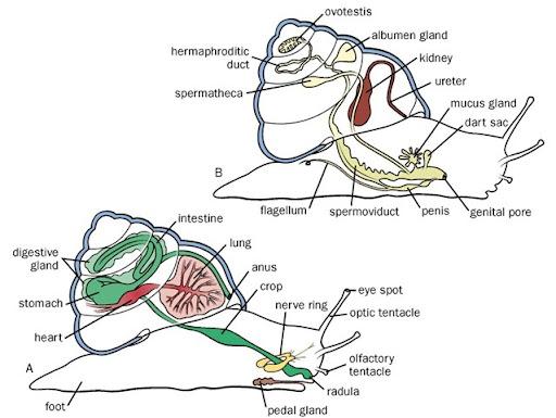 Gastropoda Respiratory