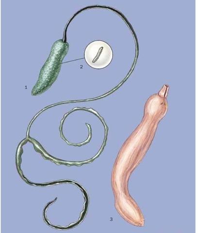 1. Female green bonellia (Bonellia viridis); 2. Male green bonellia (Bonellia viridis); 3. Innkeeper worm (Urechis caupo).