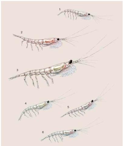 1. North Pacific krill (Euphausia pacifica); 2. Nordic krill (Meganyctiphanes norvegica); 3. Antarctic krill (Euphausia superba); 4. Thysanoessa in-ermis; 5. Thysanoessa spinifera; 6. Thysanoessa raschii.