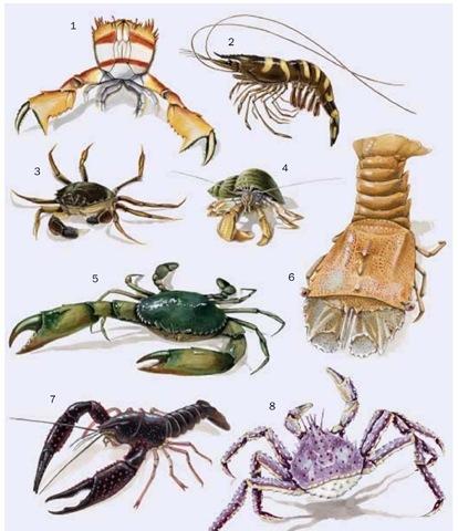 1. Spanner crab (Ranina ranina); 2. Giant tiger prawn (Penaeus monodon); 3. Chinese mitten crab (Eriocheir sinensis); 4. Common hermit crab 5. Mangrove crab (Scylla serrata); 6. Flathead locust lobster (Thenus orientalis); 7. Red swamp crayfish (Procambarus clarkii); 8. Red king crab (Paralithodes camtschaticus).