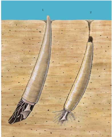 1. Tusk shell (Antalis entalis); 2. Aberrant tooth shell (Gadila aberrans).