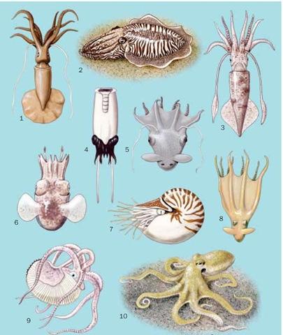 1. Mastigoteuthis magna; 2. Common cuttlefish (Sepia officinalis); 3. Longfin inshore squid (Loligo pealeii); 4. Ram's horn squid (Spirula spir-ula); 5. Vampire squid (Vampyroteuthis infernalis); 6. Butterfly bobtail squid (Stoloteuthis leucoptera); 7. Pearly nautilus (Nautilus pompilius); 8. Stauroteuthis syrtensis; 9. Greater argonaut (Argonauta argo); 10. Common octopus (Octopus cf. vulgaris).