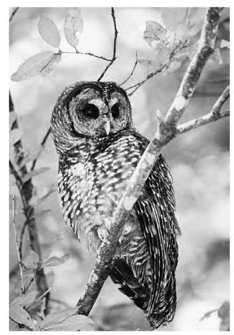 Old-growth forests are home to the northern spotted owl, recognized as an endangered species because of the destruction of its habitat.