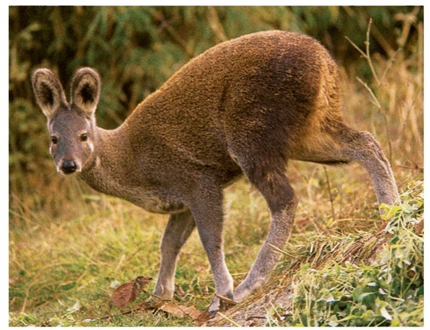 Musk deer are often killed by hunters in order to obtain the animals' musk, which is used in perfumes and medicines.