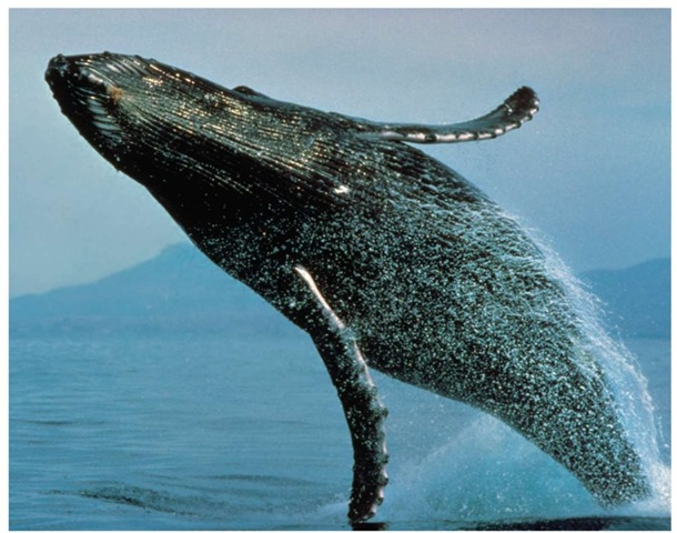 A humpback whale comes to the surface for air. Although there is a ban on hunting the whales, illegal hunting still continues.