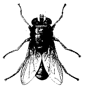 Adult blowfly, Phaenicia sericata.