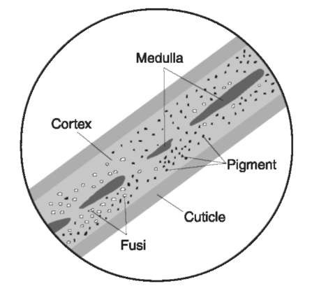Hair shaft. The hair shaft of human hair as viewed microscopically in a mountant. All hairs, whether human or domesticated or wild animal, have the same structure which includes a cuticle, cortex, pigment, fusi, and medulla.