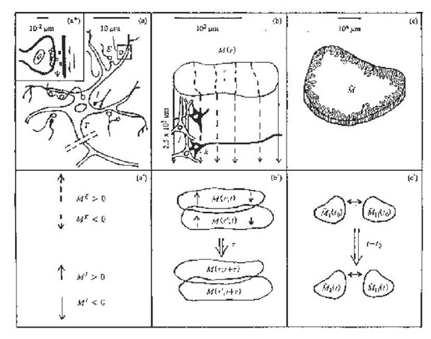 Illustrated are three biophysical scales of neocortical interactions: (a)-(a*)-(a') microscopic neurons; (b)-(b') mesocolumnar domains; (c)-(c) macroscopic regions (Ingber, 1983). SMNI has developed appropriate conditional probability distributions at each level, aggregating up from the smallest levels of interactions. In (a*) synaptic inter-neuronal interactions, averaged over by mesocolumns, are phenomenologically described by the mean and variance of a distribution ¥. Similarly, in (a) intraneuronal transmissions are phenomenologically described by the mean and variance of r. Mesocolumnar averaged excitatory (E) and inhibitory (I) neuronal firings Mare represented in (a'). In (b) the vertical organization of minicolumns is sketched together with their horizontal stratification, yielding a physiological entity, the mesocolumn. In (b) the overlap of interacting mesocolumns at locations r and r' from times t and t + t is sketched. In (c) macroscopic regions of neocortex are depicted as arising from many mesocolumnar domains. (c) sketches how regions may be coupled by long-ranged interactions.