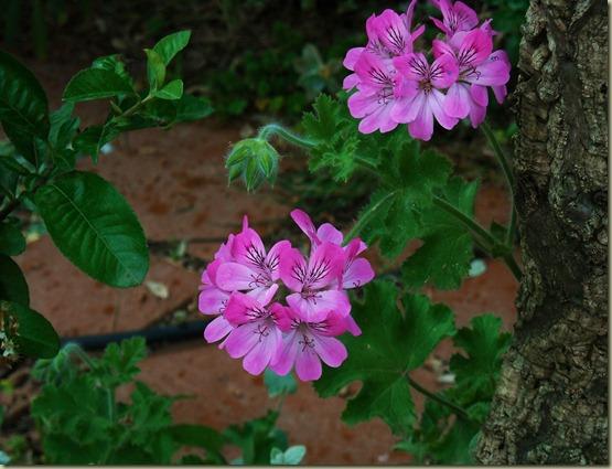 P. Pink capitatum 2