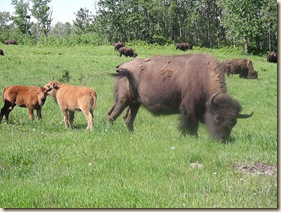Bison_herd_grazing