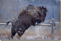 Bison_Jumping_Fence