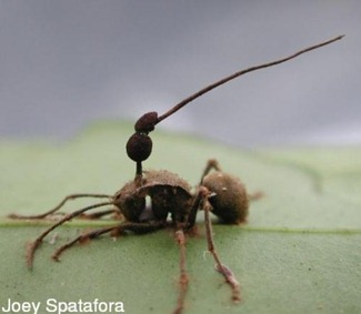 hormigas-zombies-foto