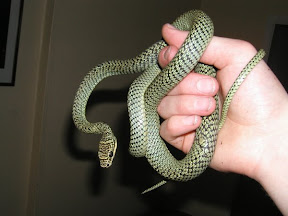 Chrysopelea ornata Golden tree snake