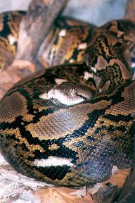 งูที่ยาวที่สุดในโลก