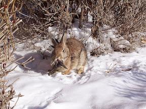 กระต่ายมีเขา : กระต่ายเขากวาง