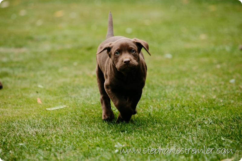 Lynden-Pet-Photographer-Chocolate-Lab-Puppies-106