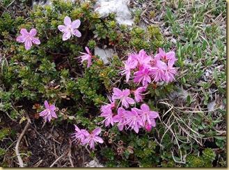 51-Rododendro nano