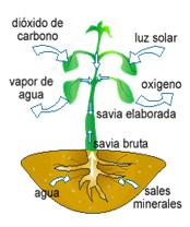 Funciones de las plantas reino metaphyta for Funcion de las plantas ornamentales