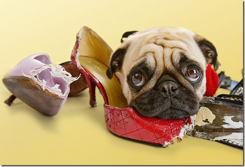 istock_photo_of_dog_chewing_womans_shoes