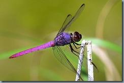 dragonflies_slide1
