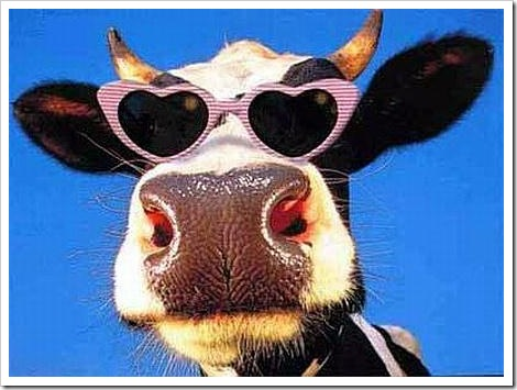 Funny cow with sunglasses.