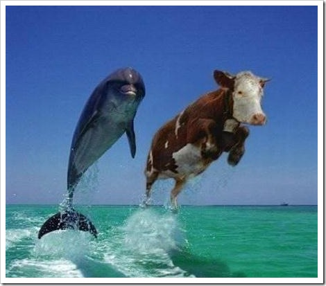 Funny flying cow picture.