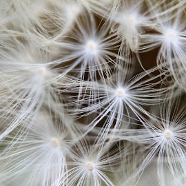 by Christine Warner - Nature Up Close Other plants ( novice, nature, dandelion, novices only, closeup )