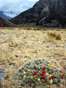 Cactus Flowers on Laguna 69 Trek (Cordilleras Mountains, Peru)