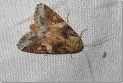 9669 - Spodoptera ornithogalli - Yellow-striped Armyworm PROBABLY